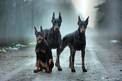 Resident Evil (Devilstar) Tags: dog black german docked pinscher deutscher pincher saksa  worldwinner pinter cropped timspiriteyesofthetiger