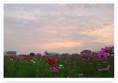 3802    .  -  Flowers Field . Sunset moment   .. 2009        -  ASTERACEAE  . Garden  Cosmos . Flowers of TAIWAN (deepblue68) Tags: world life county travel flowers light sunset shadow sky sunlight flower color nature clouds sunrise garden season landscape outdoors photography photo flora scenery asia cityscape tour natural image earth explorer seasonal scenic taiwan environmental explore vision kaohsiung environment moment formosa    scape  2009  asteraceae cosmos          bipinnatus     peterchen        chiaotou   apathwayhomecom