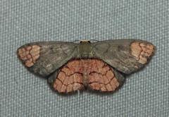 Metallaxis semiustus (Geometridae: Sterrhinae: Rhodostrophiini) (Dr. Alexey Yakovlev) Tags: crockerrangenationalpark sterrhinae borneo geometridae moth malaysia