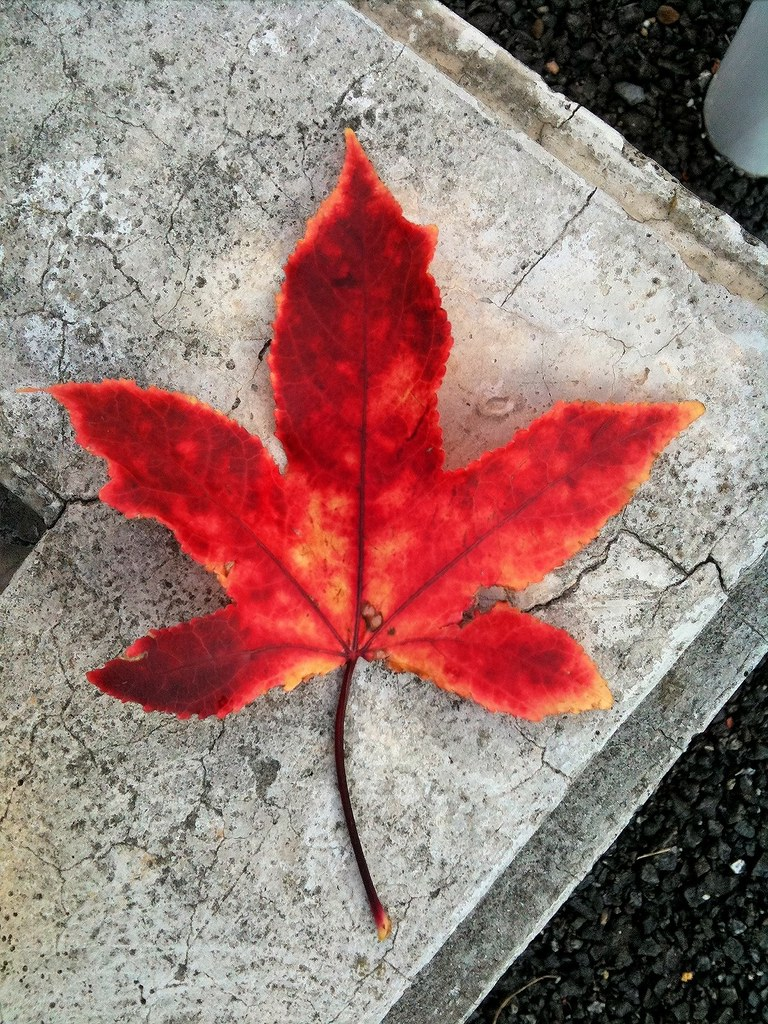 maple leaf_5150