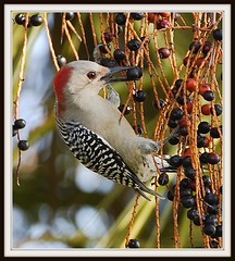 Woody With Berry (billkominsky ) Tags: bird nature birds feeding wildlife woodpeckers picnik birdwatcher blackgold coth supershot topseven specanimal abigfave greencaywetlands avianexcellence excellenceinavianphotography qualitycounts colorsoftheheart alittlebeauty