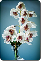Orchid (johnr71) Tags: blue white plant orchid flower nature glass night decoration bouquet