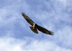 800px-Peregrin_hawk_mexico_Cropped[1]