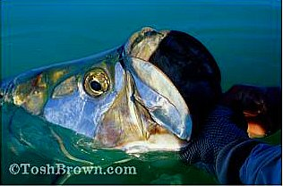 tosh brown tarpon shot www.toshbrown.com