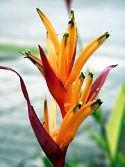 Flower (silambam79) Tags: flowers macro malaysia panasonicfz35