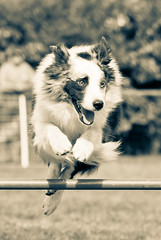 agility wittes-3 (valery.photography) Tags: dog chien 14 85mm agility samyang wittes agilitywitteshazphotoclub