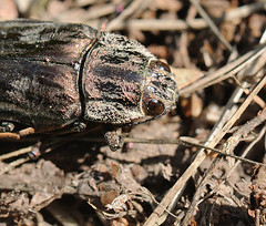 Pine-borer (Chalcophora mariana massiliensis) (Tiggrx) Tags: insect menorca minorca coleoptera balearicislands balearics jewelbeetle pineborer chalcophoramariana massiliensis algendargorge