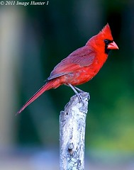 Northern Cardinal - Bayou Courtableau, Louisiana (Image Hunter 1) Tags: red tree nature birds louisiana bokeh bayou swamp stump perch perched marsh northercardinal t2i birdslouisiana bayoucourtableau canont2i