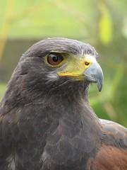 Birds of Prey 6 (tdcphotos) Tags: birdofprey bird eyes hunter beak wings feathers birdsofprey owl falcon predator ears feather perch canon canonpowershot sx10is internationalflickrawards