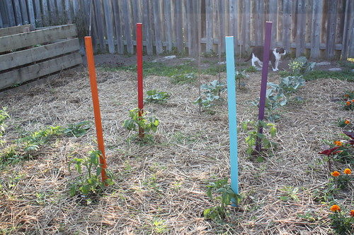 Coloured Tomato Stakes in the Vegetable Garden