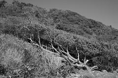 Fallen (Carlos A. Aviles) Tags: 20172912lascasitasvillageconsquistador blackandwhite blancoynegro palomino fajardo puertorico arbol tree dry seco muerto fallen caido