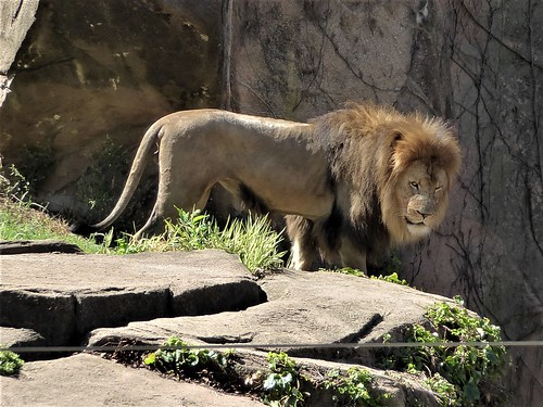 Chicago, Lincoln Park Zoo, Male Lion