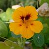 first nasturtium (wmpe2000) Tags: 2017 flowers nasturtium garden nasturtiums tropaeolum tropaeolaceae orderbrassicales orange yellow