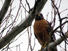IMG_7880 (kennethkonica) Tags: nature bird canonpowershot global random hoosiers marioncounty midwest america usa indiana indianapolis indy colors animaleyes animal outdoor c hawk tree winter february wildlife wild bestshotoftheday raptor animalplanet branch eyes