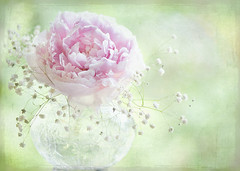 Soft on Peonies (Jacky Parker Floral Art) Tags: pink stilllife flower macro texture glass closeup peony single vase florabella alemdagqualityonlyclub