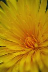 Dandelion (Abbie Lou) Tags: flowers wild summer yellow dandelion trossachs scotland2009