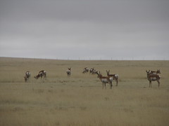 IMG_10713 (old.curmudgeon) Tags: newmexico critter antelope 5050cy