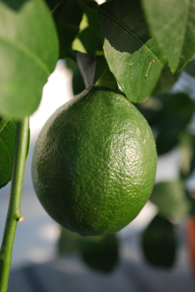 unripe meyer lemon