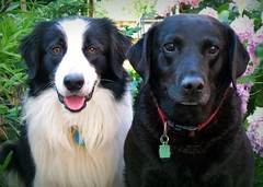 Barney & Jess (meg price) Tags: dog pet collie lab sheepdog border jess labradorretriever bordercollie barney supershot mywinners diamondclassphotographer flickrdiamond platinumheartaward