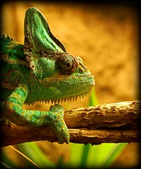 Chameleon Camouflage (GlossyEye.) Tags: world wild color colour green art texture nature hat animal closeup eyes reptile walk camouflage planet stare around chameleon sarcastic unnoticed mistic intrigue inpiration specanimal dofdepthoffield picnikorpicnic