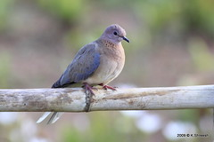 Laughing Dove.. (K. Shreesh) Tags: india birds pune naturesfinest 50d eos50d mywinners abigfave avianexcellence ef400f56l vosplusbellesphotos