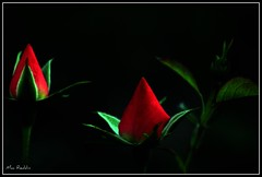 Budding (The Top Hat Bandit) Tags: red plant black flower green rose night mac flora bud budding reddin edgedonkey
