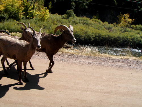 BIg Horn Sheep in Waterton Canyon
