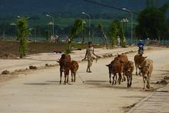 Kon Tum (Post Ketsana) (datadayim) Tags: road storm aftermath asia cattle flood vietnam environment southeast 2009 typhoon kontum ketsana