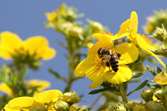 A Hardworker (Bo AhmaD) Tags: flower yellow austria see am working bee zell hardworker boahmad canoneos450d