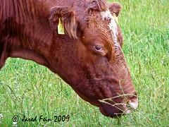 Doolin Cow (SewerDoc) Tags: ireland animals cow doolin explore countyclare flickrexplore explored sewerdoc jaredfein