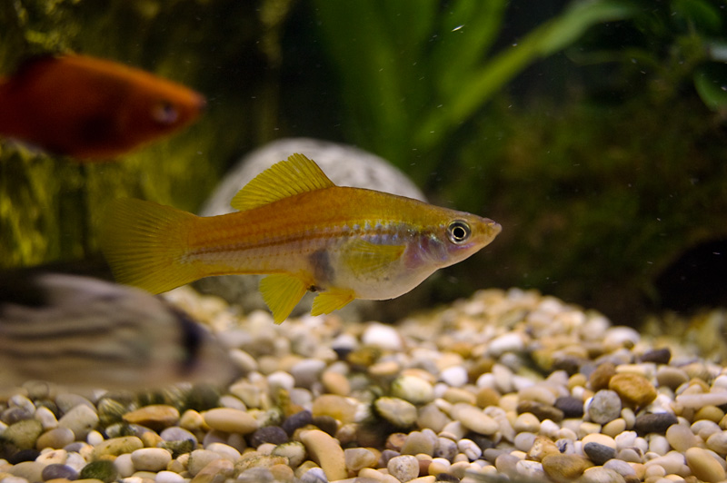 how to know if your fish is pregnant