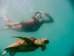 Iseta chasing a turtle
