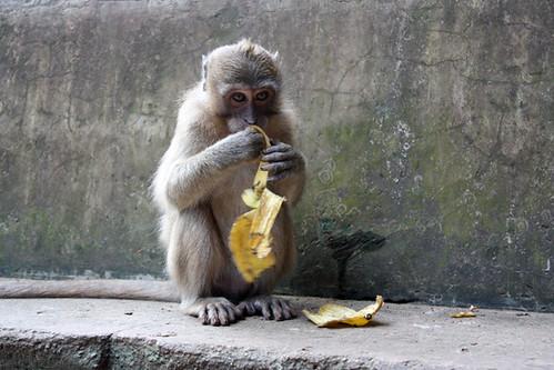Hungry monkey