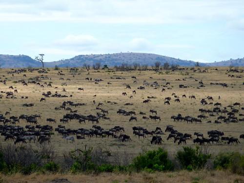 Wildebeest, Maasai Mara, Kenya