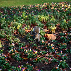 Nuts (@richlewis) Tags: autumn england orange brown nature leaves canon eos northampton squirrel nuts abingtonpark canonefs1755mmf28isusm 450d