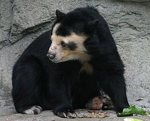 normal bear