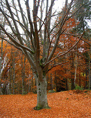 Silence (Per Ola Wiberg ~ Powi) Tags: park november autumn nature niceshot harmony 1001nights 2009 soe breathtaking beech hst beechwood musictomyeyes blueribbonwinner autumnfall supershot thegalaxy eker beautifulphoto bej ekebyhovsparken boktrd bokskog naturesgallery mywinners royalgroup flickrbronzeaward citrit flickrsilveraward heartawards diamondstars artistspotlight betterthangood theperfectphotographer flickridol goldstaraward peaceawards thebestshot natureselegantshots beautifulshot fotosconestilo grupodehablahispana naturesphotos panoramafotogrfico doubledragonawards angelawards saariysqualitypictures addictedtonature visionaryartsgallery holycreationsofnature mostbeautifulpictures travelsofhomerodyssey ~exclusivity~ flickrunitedaward todaysbest naturesprime parisinitafriends naturesgreenpeaceaward bestpeopleschoice 1001nightsmagiccity theoriginalgoldseal theoriginalgoldsea mygearandme solidaritytochile esenciadelanaturaleza thenaturessoul aboutthenaturewithlove hellofriend