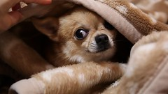 Don't disturb me. (kanonyobo) Tags: chihuahua canon explore kanon 5dmark2