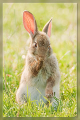 Shy.. (hvhe1) Tags: baby holland rabbit bunny nature netherlands animal searchthebest wildlife shy specanimal hvhe1 hennievanheerden
