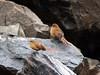Tawny Tit-Spinetail (Leptasthenura yanacensis) (Ardeola) Tags: bird southamerica birds bolivia aves fågel neotropical fbwnewbird fbwadded leptasthenura furnarid titspinetail yanacensis tawnytitspinetail leptasthenurayanacensis