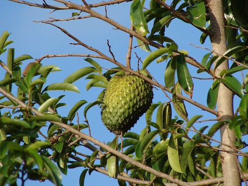 Soursop fruit on the tree