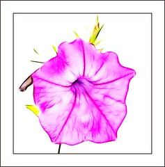 Petunia Laura Bush (haberlea) Tags: pink summer white plant flower nature garden petals border whitebackground frame petunia mygarden onwhite