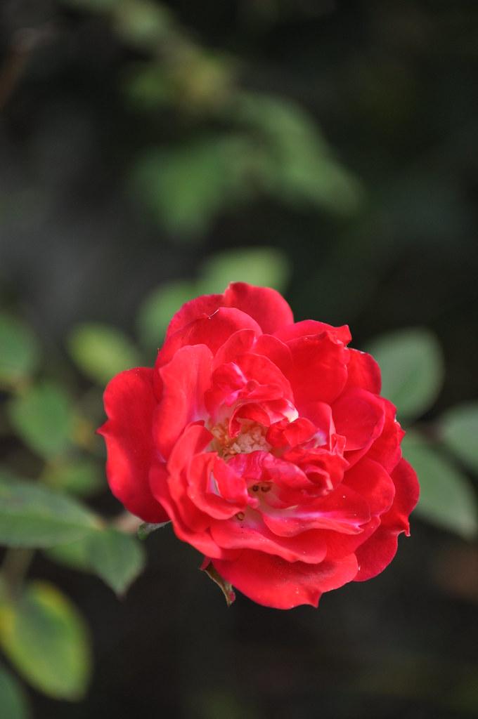 Rosa 'Res Cascade'