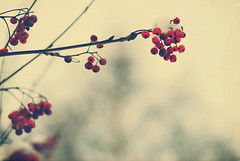snowy berries (e.kristina) Tags: winter red snow texture berries branches rowan sorbapple rognebr rogn ermuknis uoga playingwitbrishes