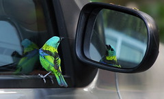 Narcisista - Narcissistic. (Carlos Vieira.) Tags: bird nature car espelho cores natureza pssaro carro reflexos narcissistic narcisista sara