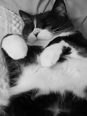 (Texas.713) Tags: cat sleepy third tuxcido black what sleeping back cookie