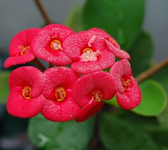 A Rosy Crown of Thorns filled to overflowing with heavy rain and morning dew (jungle mama) Tags: red wet water rain leaf dew soe redflowers rosy crownofthorns supershot bej abigfave redcrownofthorns anawesomeshot diamondclassphotographer flickrdiamond yellowstamen theunforgettablepictures 100commentgroup rosycrownofthorns coth5 biscayneparkflorida wetredflowers redflowersyellowstamen