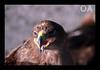 I am thirsty (Omer_Arif) Tags: pakistan wild portrait nature up birds animal photography big close eagle omer punjab thirsty arif sialkot baaz aplusphoto