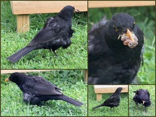 Compo the Blackbird