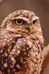 [フリー画像] [動物写真] [鳥類] [猛禽類] [梟/フクロウ] [アナホリフクロウ]      [フリー素材]